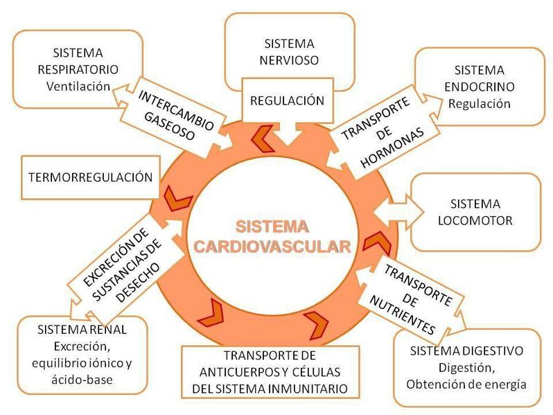 Los sanguíneos cardíacos anatomía vasos de